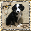 Angel Mini Black Tri Female Aussie