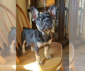 French Bulldog Puppy for sale in AFTON, WY, USA