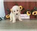 Puppy 3 Bichpoo
