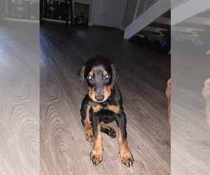 Doberman Pinscher Puppy for sale in ELK GROVE, CA, USA