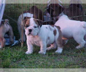 English Bulldog Puppy for sale in FOY, CA, USA