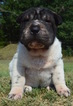 Chinese Shar-Pei Puppy For Sale in MILBURN, OK, USA