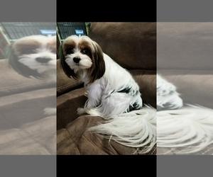 Morkie Puppy for sale in ZEPHYRHILLS, FL, USA