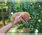 Puppy 2 Vizsla