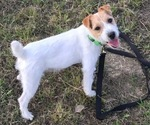 Jack Russell Terrier Puppy For Sale in BUMPASS, VA, USA