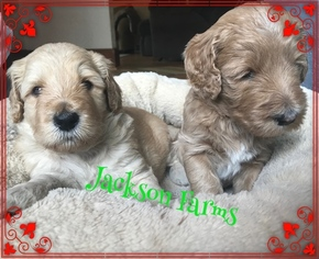 Labradoodle Puppy for sale in RICHMOND, MI, USA
