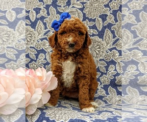 Goldendoodle-Poodle (Miniature) Mix Puppy for sale in LINCOLN UNIV, PA, USA