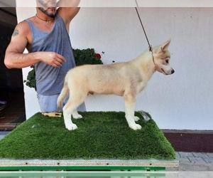 Siberian Husky Dog for Adoption in Corbeanca, Ilfov Romainia