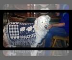 Small #2 Maremma Sheepdog