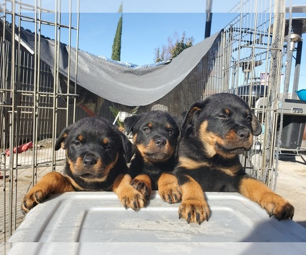 Medium Photo #4 Rottweiler Puppy For Sale in FRESNO, CA, USA