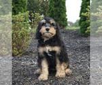 Puppy 12 Miniature Bernedoodle