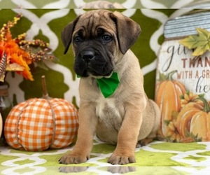 Cane Corso Dog for Adoption in LANCASTER, Pennsylvania USA