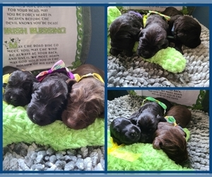 Labradoodle Puppy for Sale in JACKSON, Minnesota USA