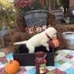 Golden Retriever Puppy For Sale in RAYMOND, MS