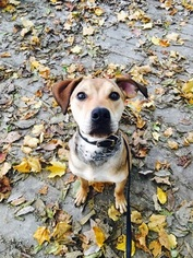 Beagle Mix Dog For Adoption in FISHERS, IN, USA