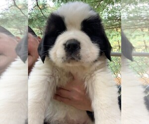 Saint Bernard Puppy for Sale in NEW PHILA, Ohio USA