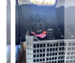 Poodle (Standard) Puppy for sale in MORENO VALLEY, CA, USA
