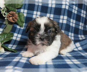 Shih Tzu Dog for Adoption in SHILOH, Ohio USA
