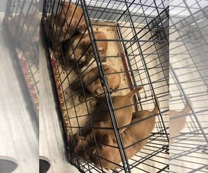 Vizsla Puppy for sale in KYLE, TX, USA