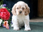 Cocker Spaniel Puppy For Sale in MOUNT JOY, PA, USA