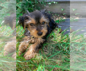 Yorkshire Terrier Puppy for sale in COLUMBIANA, OH, USA