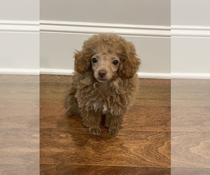 Poodle (Toy) Puppy for sale in FLOWERY BR, GA, USA