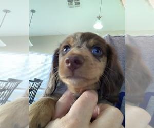 Dachshund Puppy for Sale in GLENDALE, Arizona USA