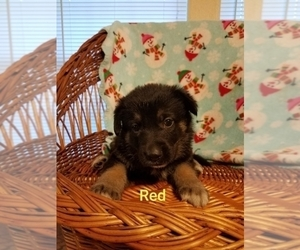 German Shepherd Dog Puppy for Sale in MADISON, Florida USA