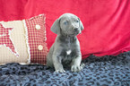 Great Dane Puppy For Sale in CUYAHOGA FALLS, Ohio,