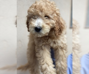 Goldendoodle Puppy for sale in ANAHEIM, CA, USA
