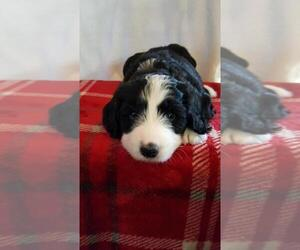 Bernedoodle Puppy for sale in SPRINGFIELD, IL, USA