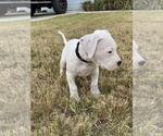 Small #19 Dogo Argentino