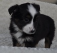 Miniature Australian Shepherd Puppy For Sale in ATWOOD, Illinois,