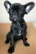 French Bulldog Puppy For Sale in TAMPA, FL,
