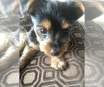 Small #6 Silkshire Terrier-Yorkshire Terrier Mix