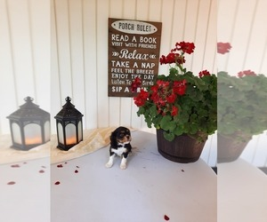 Cavalier King Charles Spaniel Puppy for Sale in SHIPSHEWANA, Indiana USA
