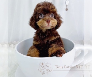 Poodle (Toy) Puppy for Sale in ASTORIA, New York USA