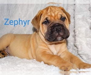 Bullmastiff Puppy for sale in VERONA, MO, USA