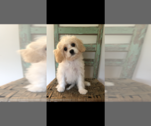 Cavachon Puppy for Sale in KNOXVILLE, Tennessee USA