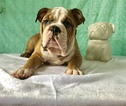 Bulldog Puppy For Sale in CRANSTON, RI, USA