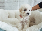 Maltipoo-Unknown Mix Puppy For Sale in LA MIRADA, CA, USA