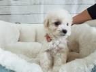 Maltipoo-Unknown Mix Puppy For Sale in LA MIRADA, CA, USA