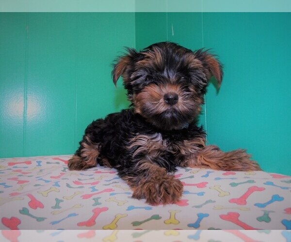 Medium Photo #7 Yorkshire Terrier Puppy For Sale in PATERSON, NJ, USA