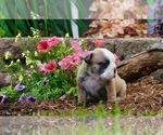 English Bulldog Puppy For Sale in NAPPANEE, IN, USA