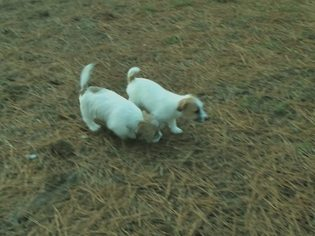 Jack Russell Terrier Puppy For Sale in SANDSTON, VA, USA