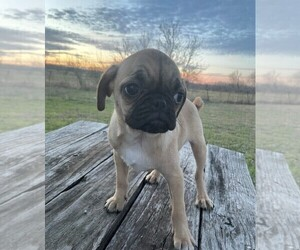 Pug Puppy for sale in KYLE, TX, USA