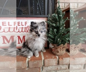 Pomeranian Puppy for Sale in WENTZVILLE, Missouri USA