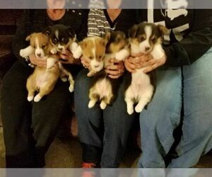 Pembroke Welsh Corgi Puppy for Sale in VERSAILLES, Ohio USA