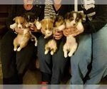 Pembroke Welsh Corgi Puppy For Sale in VERSAILLES, OH, USA