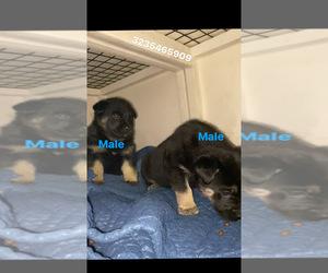 German Shepherd Dog Dogs for adoption in SAN DIMAS, CA, USA